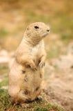 Esquilo à terra que olha no prado Imagens de Stock