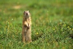 Esquilo à terra que paga a atenção fotos de stock