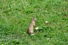 Esquilo à terra que pasta e que espreita na grama imagem de stock royalty free