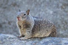Esquilo à terra que senta-se na terra Imagens de Stock