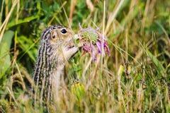 esquilo à terra Treze-alinhado (tridecemlineatus de Ictidomys) Fotografia de Stock