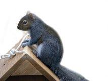 Esquilo Fotos de Stock