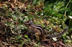 esquilo Foto de Stock Royalty Free