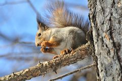 Esquilo. Imagens de Stock Royalty Free