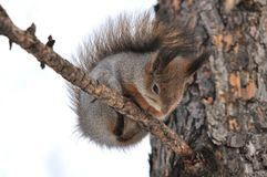 Esquilo. Fotografia de Stock Royalty Free