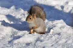 Esquilo. Fotografia de Stock