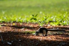 esquilo Imagem de Stock