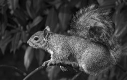 esquilo Imagens de Stock Royalty Free