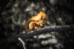 esquilo Fotografia de Stock Royalty Free
