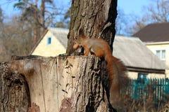 esquilo Fotos de Stock Royalty Free