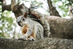 esquilo Fotografia de Stock