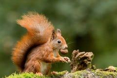 esquilo Imagem de Stock Royalty Free