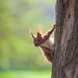 Esquilo alaranjado Imagem de Stock