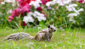Esquilo alerta Imagem de Stock