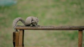 Esquilo americano - hudsonicus do Tamiasciurus, sentando-se no parque e na alimentação filme