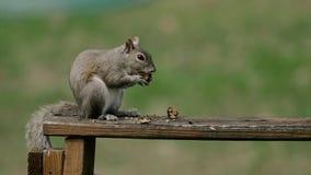 Esquilo americano - hudsonicus do Tamiasciurus, sentando-se no parque e na alimentação vídeos de arquivo