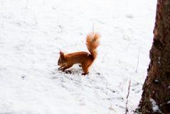Esquilo animal Imagens de Stock