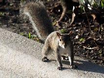 Esquilo assustadiço Fotografia de Stock