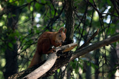 esquilo astuto Imagens de Stock