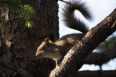 Esquilo atado encaracolado fotos de stock