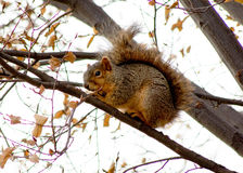 Esquilo atado espesso em uma árvore durante o inverno Imagens de Stock Royalty Free