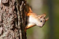 Esquilo bonito Foto de Stock Royalty Free
