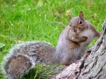 Esquilo bonito Imagens de Stock Royalty Free