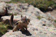 Esquilo bonito curioso com mordentes enchidos imagem de stock royalty free