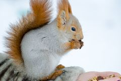 Esquilo bonito que come as porcas que sentam-se em uma mão da mulher Fotografia de Stock
