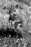 Esquilo bonito que come um fundo da porca no selvagem Fotos de Stock