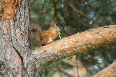 Esquilo bonito que senta-se em um ramo do pinho em um parque e em comer Foto de Stock Royalty Free