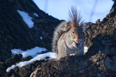Esquilo bonito que tem o almoço Foto de Stock Royalty Free