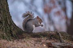 Esquilo bonito que tem o almoço Imagens de Stock Royalty Free