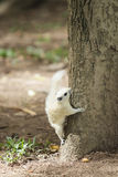 Esquilo branco Fotografia de Stock