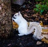 Esquilo branco imagens de stock royalty free
