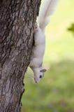 Esquilo branco, Brevard, NC Imagens de Stock Royalty Free
