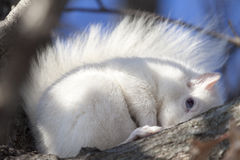 Esquilo branco do bebê no frio do inverno Imagens de Stock Royalty Free