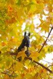 Esquilo cinzento Imagens de Stock