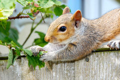 Esquilo cinzento 2 Imagem de Stock