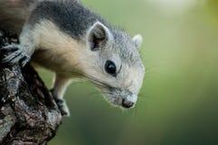 Esquilo cinzento fotografia de stock