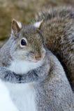 Esquilo cinzento Fotos de Stock