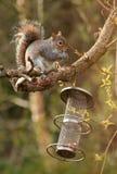 Esquilo cinzento. Imagem de Stock