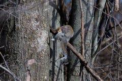 Esquilo cinzento imagens de stock royalty free