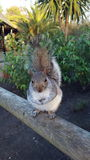 Esquilo cinzento Imagem de Stock