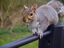 Esquilo cinzento Imagem de Stock Royalty Free