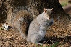 Esquilo cinzento Fotografia de Stock Royalty Free