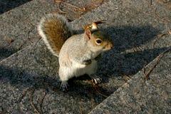 Esquilo cinzento americano amedrontado Fotografia de Stock Royalty Free