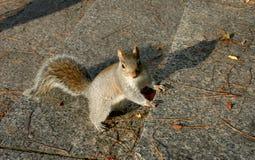 Esquilo cinzento americano amedrontado Foto de Stock