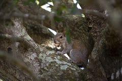 Esquilo cinzento bonito que senta-se em uma árvore, comendo amendoins Composição com animais Fotografia de Stock