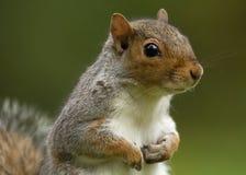 Esquilo cinzento (carolinensis do Sciurus) Foto de Stock